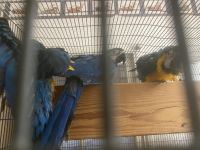 Blue-and-yellow Macaw Birds for sale in San Gabriel, CA, USA. price: NA