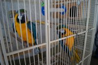 Blue-and-yellow Macaw Birds for sale in Camp Hill, PA 17011, USA. price: NA