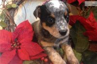 Blue Healer Puppies for sale in Kansas City, KS, USA. price: NA