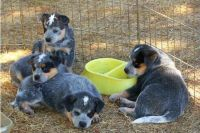 Blue Healer Puppies for sale in Austin, TX, USA. price: NA