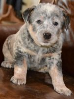 Blue Healer Puppies for sale in Houston, TX, USA. price: NA
