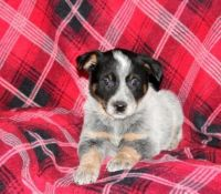 Blue Healer Puppies for sale in Seattle, WA, USA. price: NA