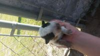 Blue Healer Puppies for sale in Giddings, TX 78942, USA. price: NA