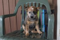 Blue Healer Puppies for sale in Canton, OH, USA. price: NA