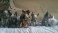Blue Healer Puppies for sale in San Diego, CA, USA. price: NA