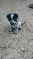 Blue Healer Puppies for sale in Fountain, CO, USA. price: NA