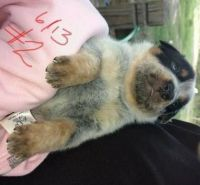 Blue Healer Puppies for sale in Palm Springs, CA 92262, USA. price: NA