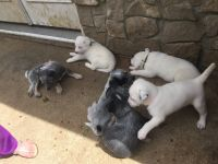 Blue Healer Puppies for sale in Campbellsville, KY 42718, USA. price: NA