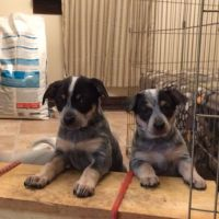 Blue Healer Puppies for sale in Los Angeles, CA, USA. price: NA