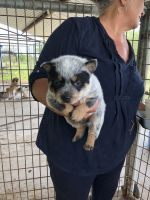Blue Healer Puppies for sale in Alice, TX 78332, USA. price: NA