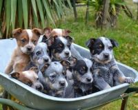 Blue Healer Puppies for sale in Chicago, IL 60638, USA. price: NA