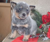 Blue Healer Puppies for sale in TX-121, Plano, TX, USA. price: NA