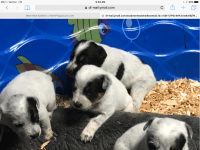 Blue Healer Puppies for sale in Sedro-Woolley, WA 98284, USA. price: NA