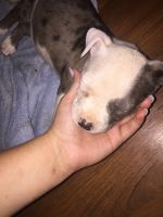Blue Healer Puppies for sale in Porter, TX 77365, USA. price: NA