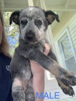 Blue Healer Puppies for sale in Bryan, OH 43506, USA. price: NA