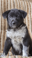 Blue Healer Puppies for sale in Philadelphia, PA, USA. price: NA