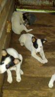 Blue Healer Puppies for sale in Webbers Falls, OK, USA. price: NA
