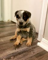 Blue Healer Puppies for sale in Oklahoma City, OK, USA. price: NA
