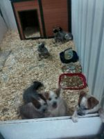 Blue Healer Puppies for sale in Mt Gilead, OH 43338, USA. price: NA