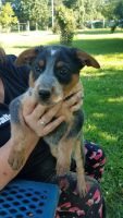 Blue Healer Puppies for sale in Granby, MO 64844, USA. price: NA