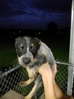 Blue Healer Puppies for sale in Carencro, LA, USA. price: NA