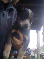 Blue Healer Puppies for sale in North Pitcher, NY 13136, USA. price: NA