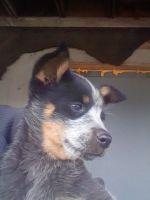 Blue Healer Puppies Photos