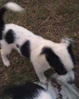Blue Healer Puppies for sale in Fitzpatrick, AL 36029, USA. price: NA