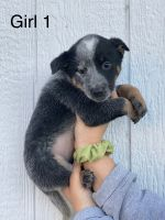 Blue Healer Puppies for sale in Harrodsburg, KY 40330, USA. price: NA