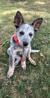 Blue Healer Puppies for sale in Hamilton, OH, USA. price: NA