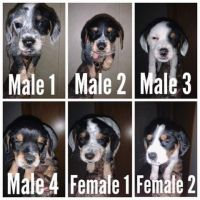 Blue Healer Puppies for sale in Holly, MI 48442, USA. price: NA