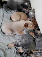 Blue Healer Puppies for sale in St Maries, ID 83861, USA. price: NA