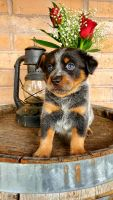 Blue Healer Puppies for sale in Roseburg, OR, USA. price: NA