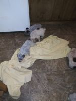 Blue Healer Puppies for sale in Bonney Lake, WA, USA. price: NA