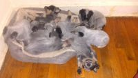Blue Healer Puppies for sale in Versailles, KY 40383, USA. price: NA
