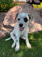 Blue Healer Puppies for sale in Queen Creek, AZ, USA. price: NA