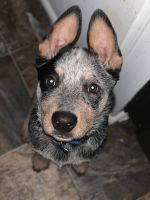 Blue Healer Puppies for sale in Rogue River, OR, USA. price: NA