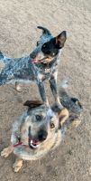 Blue Healer Puppies for sale in Amarillo, TX, USA. price: NA