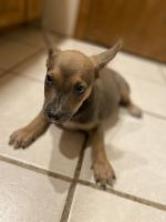 Blue Healer Puppies for sale in Kansas City, MO 64117, USA. price: NA