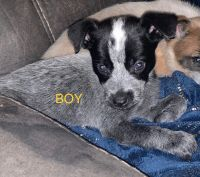 Blue Healer Puppies for sale in Globe, AZ, USA. price: NA