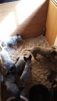 Blue Healer Puppies for sale in Cresbard, SD 57435, USA. price: NA