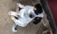 Blue Healer Puppies for sale in MORGANS POINT, TX 76513, USA. price: NA