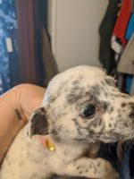 Blue Healer Puppies for sale in Waterloo, IL 62298, USA. price: NA