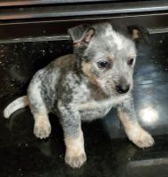 Blue Healer Puppies for sale in Lake Stevens, WA 98258, USA. price: NA