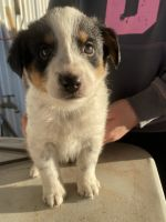 Blue Healer Puppies for sale in Floresville, TX 78114, USA. price: NA