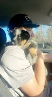 Blue Healer Puppies for sale in Cartersville, GA, USA. price: NA