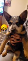 Blue Healer Puppies for sale in Lenoir City, TN 37771, USA. price: NA