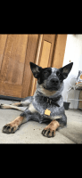 Blue Healer Puppies for sale in Pleasant Hill, CA, USA. price: NA