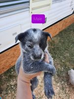 Blue Healer Puppies for sale in Parma, ID 83660, USA. price: NA