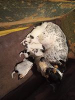 Blue Healer Puppies for sale in SW 15th St, Oklahoma, USA. price: NA